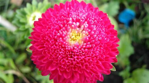 Flower Collection 55 amazing chrysanthemum flower collection golfian