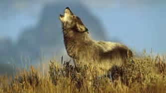 Wolf wallpaper hotwallpaperhd com