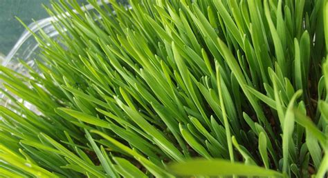 Wellness Wheat Grass ask dr nandi health benefits of wheat grass