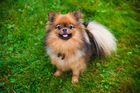origin of pomeranian pomeranian health history appearance temperament maintenance