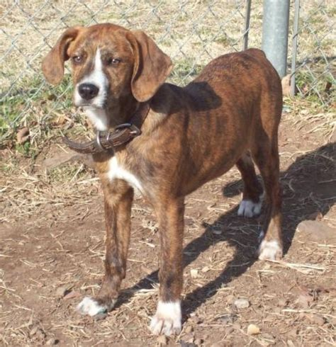 squirrel central 114 best images about mountain cur dogs on