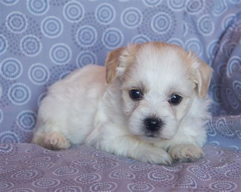shih tzu havanese puppies adorable shih tzu havanese puppies craigspets