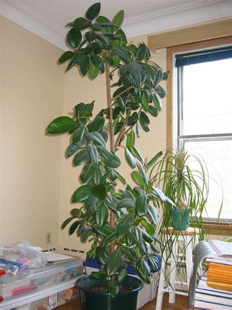 tips    prune  rubber tree trees  plant