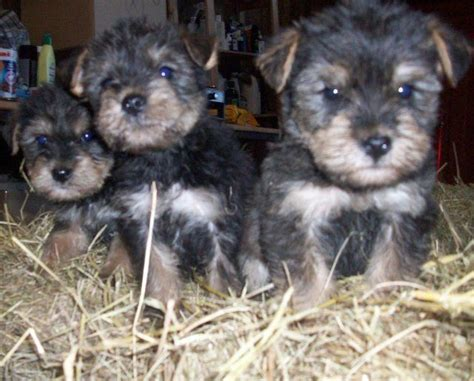 schnauzer yorkie puppies for sale for sale terrier cross schnauzer puppies wisbech cambridgeshire pets4homes