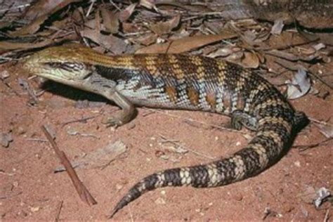 Do Blue Tongue Lizards Shed Their Skin by Tamatart