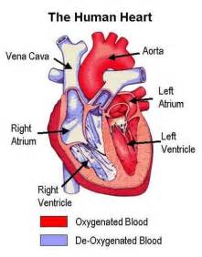 The heart leads to adverse clinical consequences such as angina heart