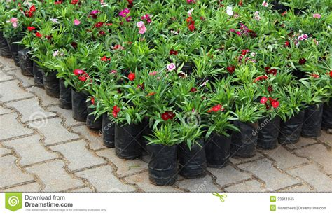 Annuals For Planters by Potted Flower Plants Royalty Free Stock Photo Image