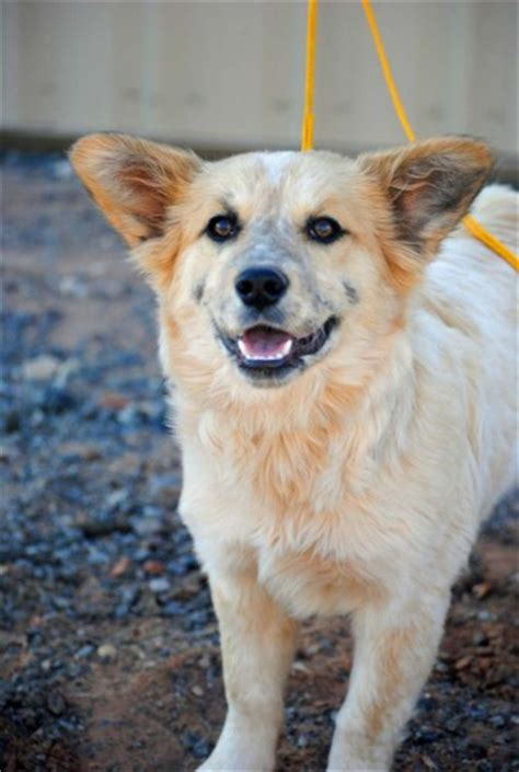 australian cattle mix corgi australian cattle mix corgi mixes