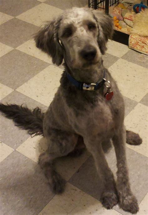 labradoodle haircut pictures pics of labradoodle haircuts hairstyle gallery