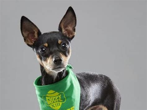 puppy rescue maryland puppy bowl xiii roster includes glen burnie rescue annapolis md patch