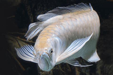 Jual Bibit Arwana Silver peluang usaha budidaya ikan arwana silver dan analisa