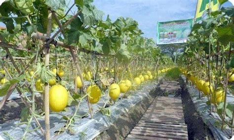 menanam hidroponik melon cara menanam melon yang benar bibit online