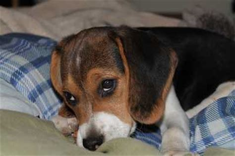 how to tell if puppy has fever fever best pet home remedies