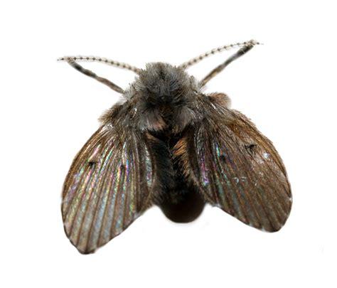 Fruit Flies In Drain Drain Moth Flies