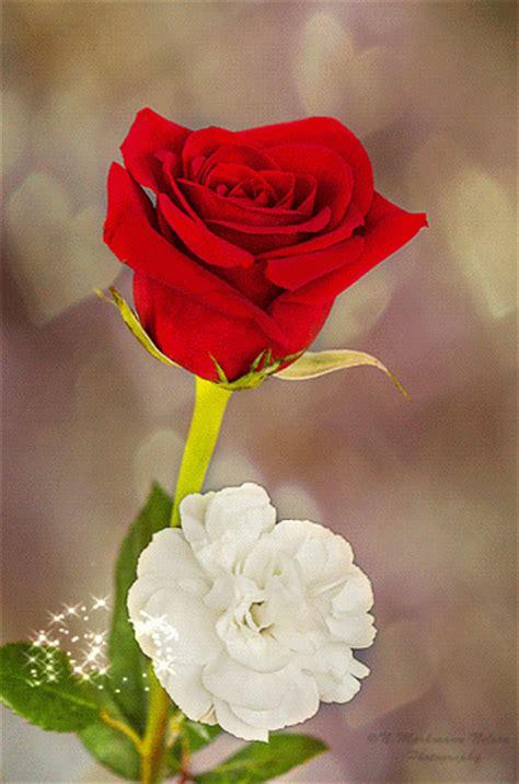 imagenes de rosas rojas en movimiento imagenes en movimiento para celular