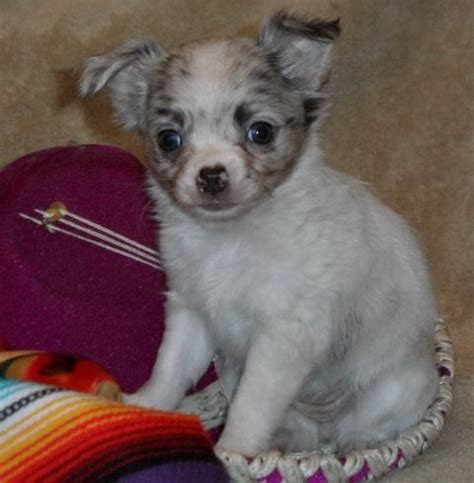 chihuahua puppies for sale in arkansas pin by charlene snodgrass on chihuahua