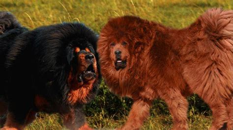 dogs that look like lions seven dogs that look like lions pethelpful