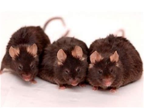 sognare un topo in casa sognare topi