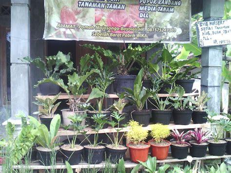 Bibit Tanaman Hias bibit buah tanaman hias gambar tanaman yang tahan panas