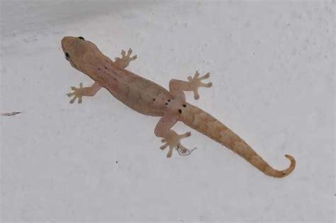 imagenes de salamandras blancas mourning gecko lepidodactylus lugubris