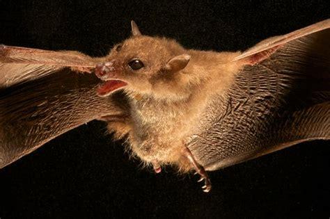mammiferi volanti foto rana pinocchio co trovate nuove bizzarre specie