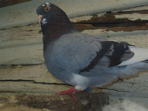 pigeon genetic problems backyard chickens