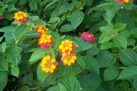 The Combination Of Colors by Lantana Camara L Spots And Greens