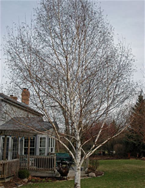 great front yard trees front yard design for winter interest part 1 of 2