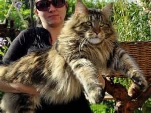 Maine coon cats adoption pennsylvania