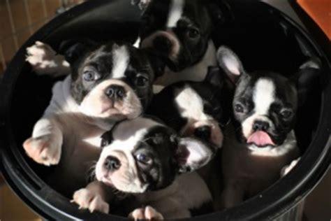 boston terrier puppies ta boston terrier til salgs boston terrier norge boston terrier valper kjpe kbe boston