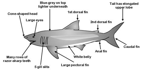 great white shark diagram great tractor engine and