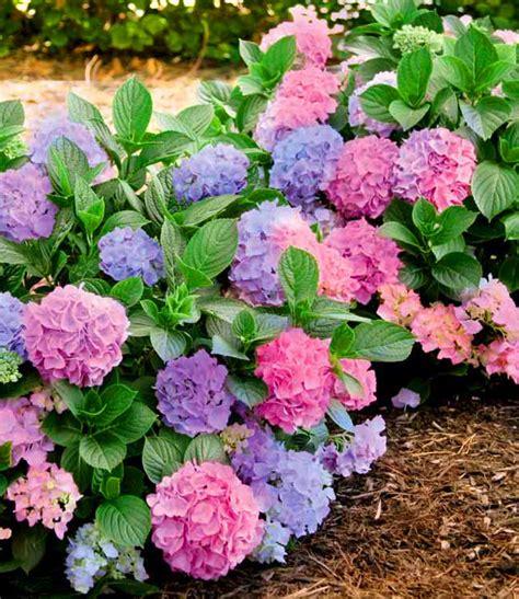 wann hortensien pflanzen freiland hortensie l a dreamin 174 1a qualit 228 t baldur garten