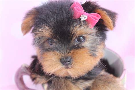 yorkie puppies miami beautiful teacup yorkie puppies miami ft lauderdale area teacups puppies boutique