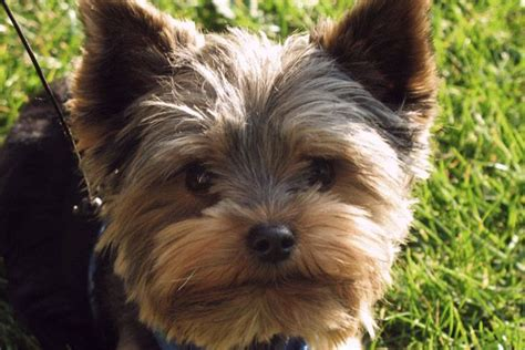 yorkies shed 17 best ideas about hypoallergenic breed on