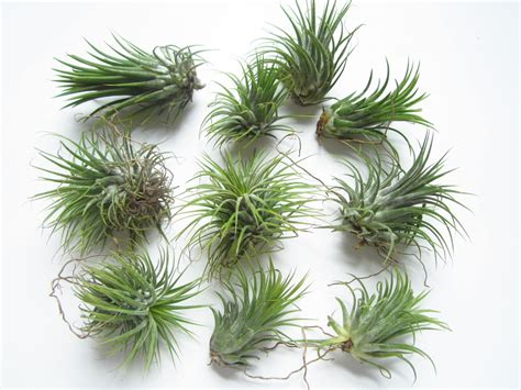 air plants ionantha guatemala aka air plant tillandsia air