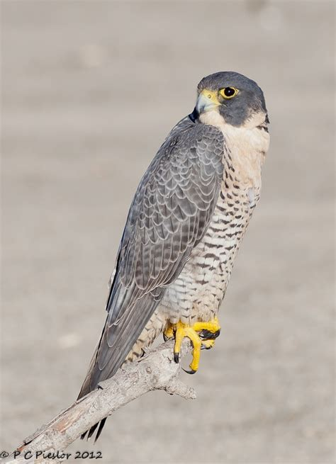 33 best falcon bird of pray my favorite images on