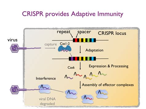 crispr cas the crispr cas system crispr cas and dna repair systems