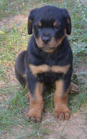 rottweiler puppies for free adoption in india heavy rottweiler puppies contact 9539420050 for sale adoption from thrissur kerala