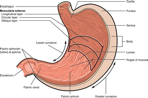 cross section of stomach 23 4 the stomach anatomy and physiology