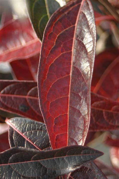 garden housecalls viburnum brandywine