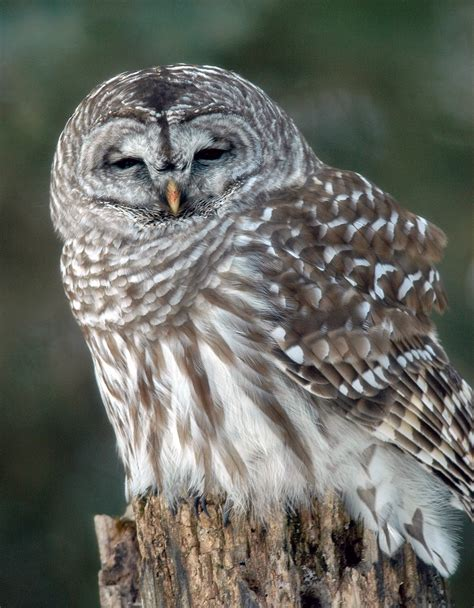 roy lukes barred owls door county pulse