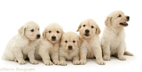 puppies and more golden retriever puppies hd pictures wallpaperscharlie puppies
