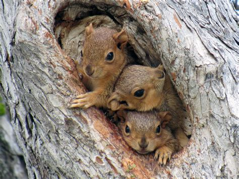 do squirrels hibernate in winter what do squirrels eat