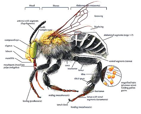 bumble bee diagram bee anatomy diagram types of bees