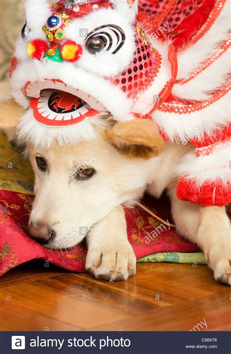 new year pet costume a shiba inu mixed breed puppy wearing a new year