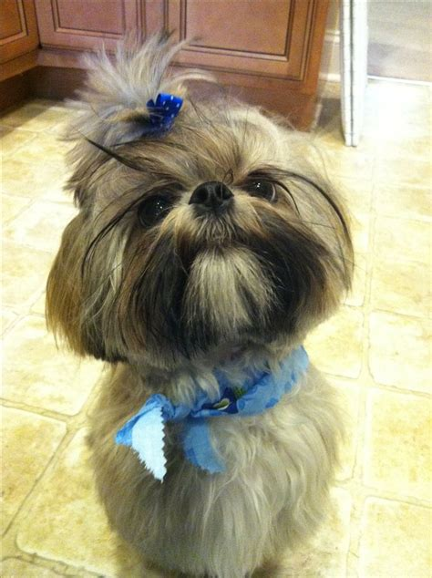 shih tzu hair styles 1000 images about shih tzu hair cuts on pinterest best