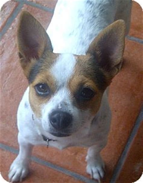 puppies for adoption in miami chihuahua mix temperament breeds picture