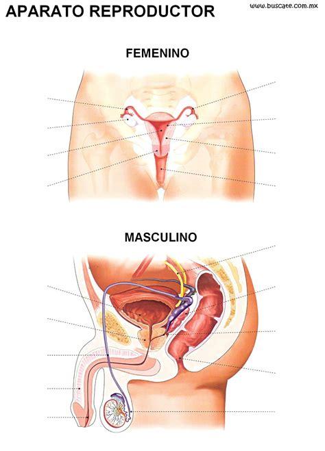 imagenes reales aparato reproductor femenino esquemas de los aparatos reproductores femenino y