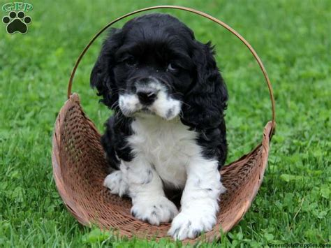 cocker spaniel puppies for sale in pa 17 best images about puppy on spaniel puppies for sale spaniels and
