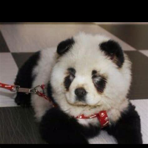 panda for sale pin panda for sale on